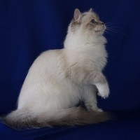 BLUE MITTED