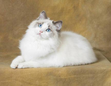 Available Ragdoll Kittens Rhode Island New Eng | Kasseldolls